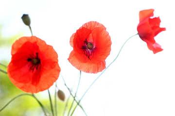 Schöne Hintergrundbilder für desktop Mohn №37060