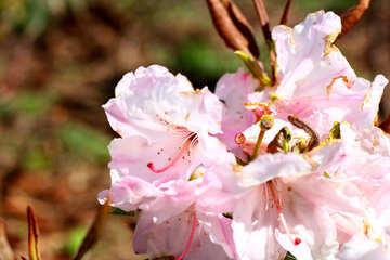 Rododendro bianco №37718