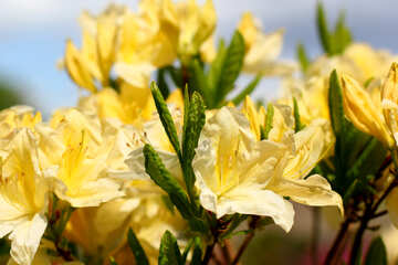 Yellow rhododendron №37710