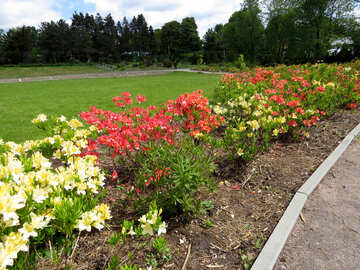 Rhododendron-Blüten in Landschaftsplanung №37346
