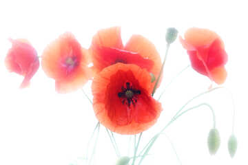 Flowers of the poppy on white background №37059