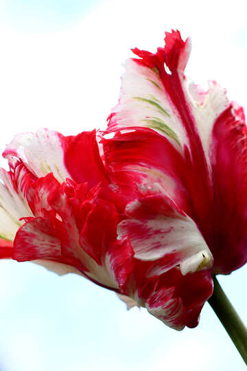 Background with the Tulip №37685