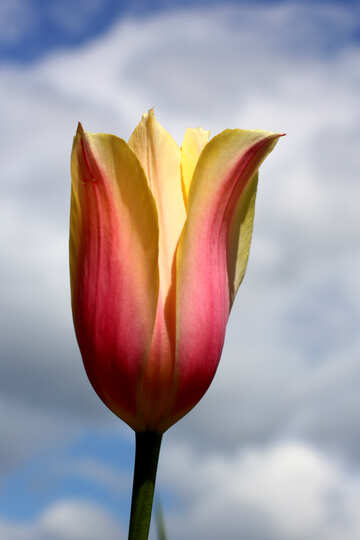 Beautiful Tulip №37705