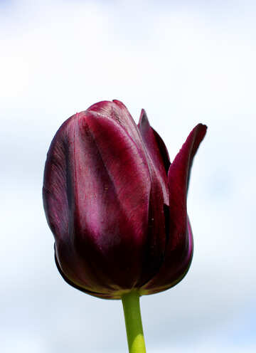 Dark Tulip №37700