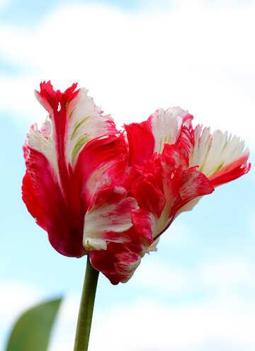 Schöne Tulip №37684