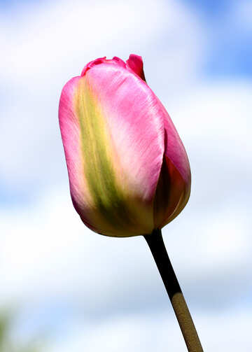 Tulip on the sky background №37701