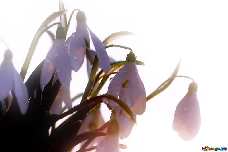 Sfondo di carta con bucaneve fiori di primavera №37977