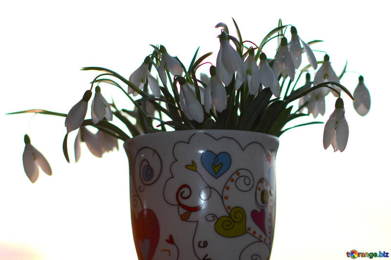 Snowdrops on white isolated №37970