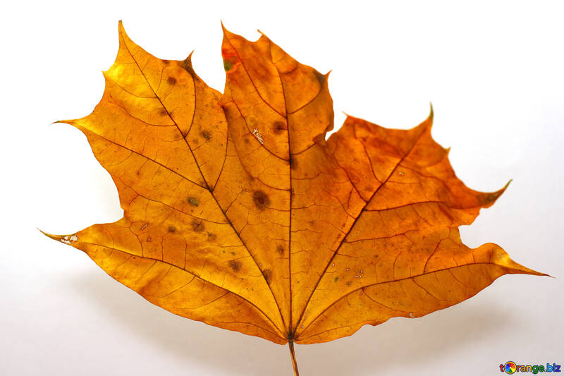 Dry maple leaf №37254