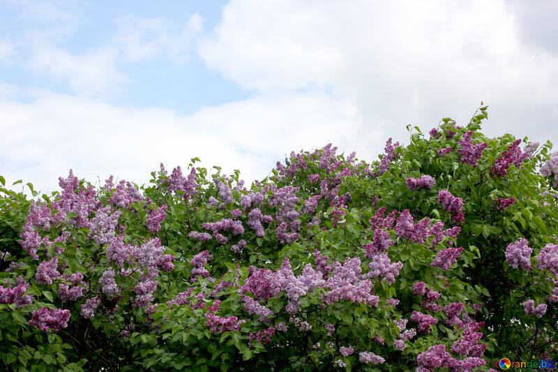 Lilas flores en la primavera №37415