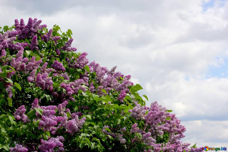 Arbustos de Lila №37443