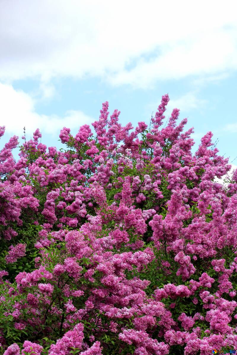 Lilas flores en el jardín botánico №37560