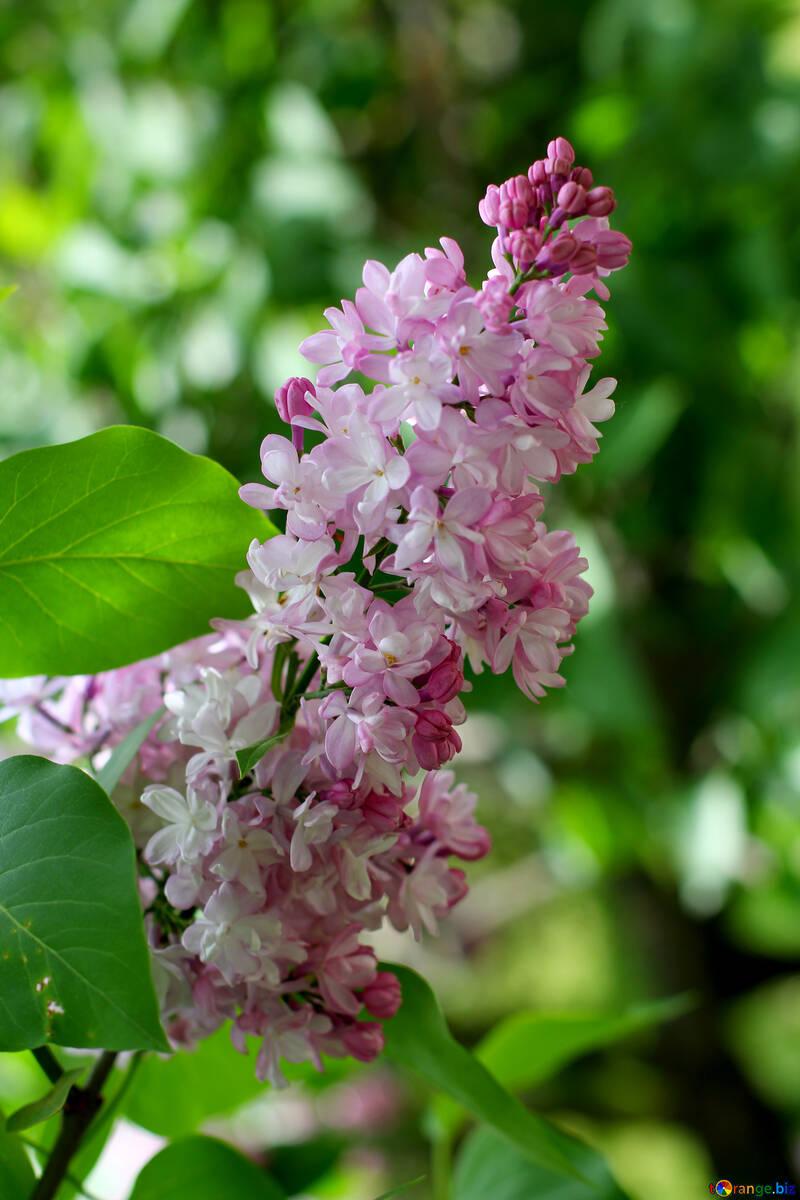 Sprig of lilac №37433