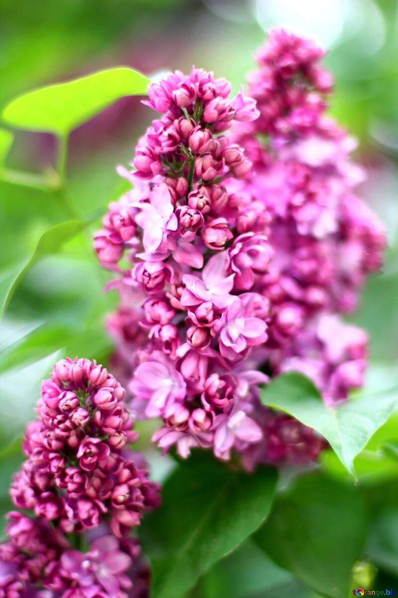 Beautiful lilac №37617