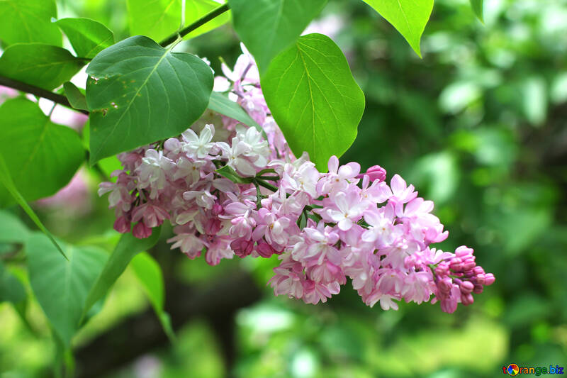 Nice sprig of lilac №37432
