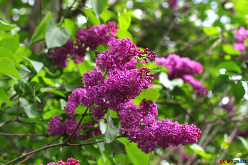 Morado lila №37589