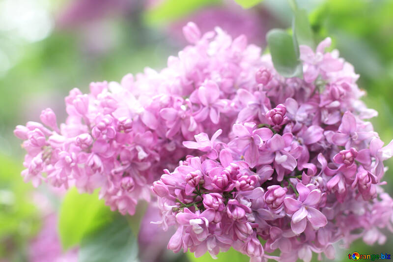 Lilac №37624