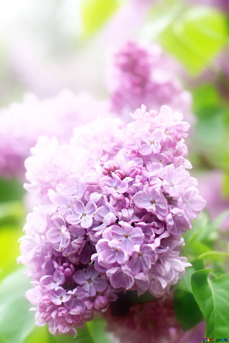 Bella foto di lilla №37603
