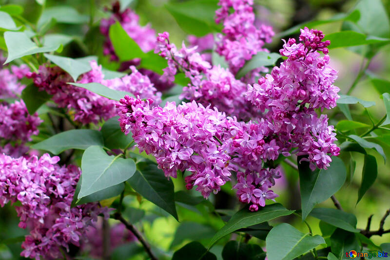 Lilac blooms №37476