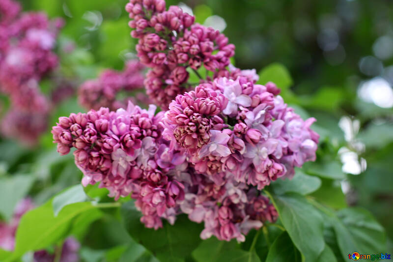 Lilac flowers №37622