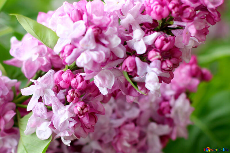 Flowers lilac bushes №37484