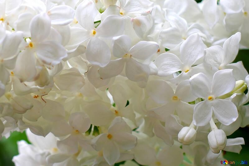 Macro fiori bianco lilla №37504