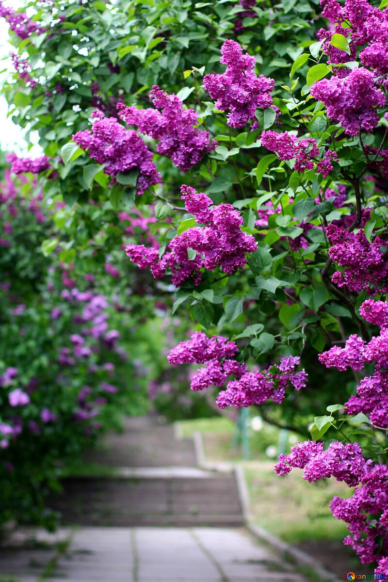 Jardín Lila №37485