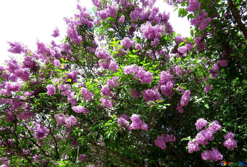 Jardín de primavera Lila №37308