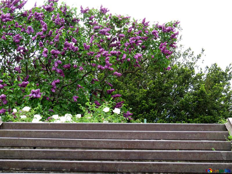 Lila por encima de las escaleras №37296