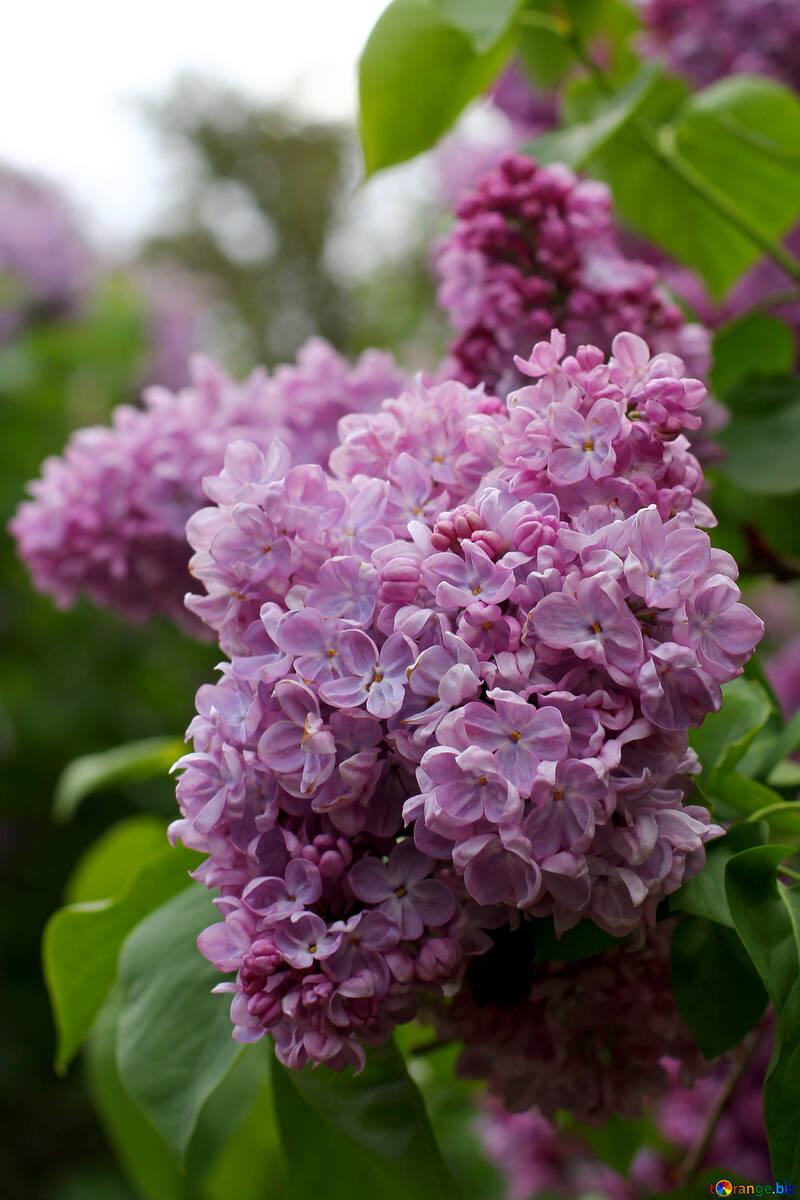 Sprig of flowering lilacs №37601