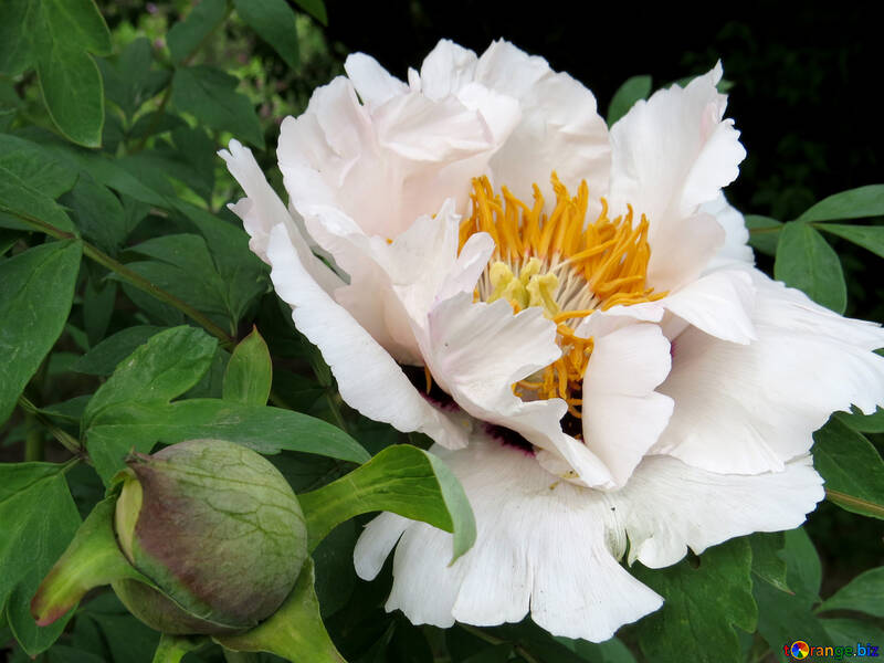 Flowers peonies tree white flower with yellow center park 37333 white flower with yellow center mightylinksfo