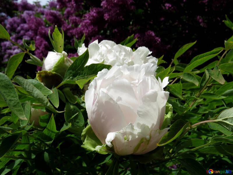 Flowers peonies tree white fluffy flower park 37331 white fluffy flower mightylinksfo