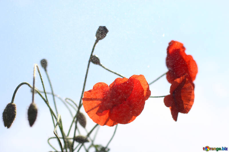 Bouquet of poppies №37080