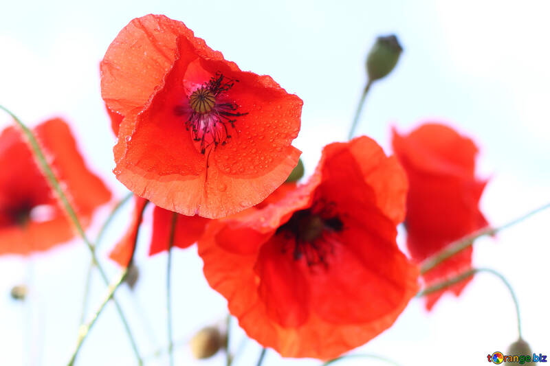 Red poppies on white background №37058