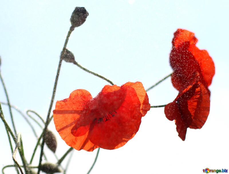 Papaveri Fiori Isolati Su Uno Sfondo Bianco Papavero Fiore Rosso