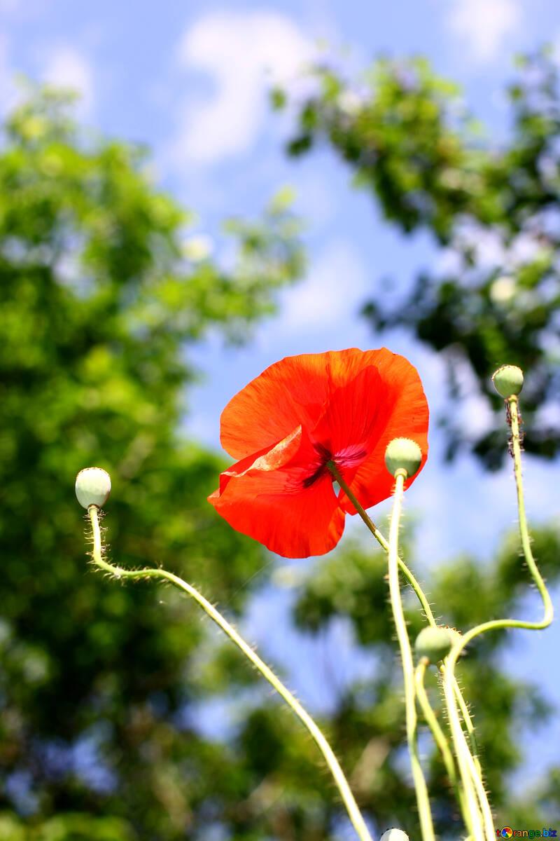 Poppy flower №37141