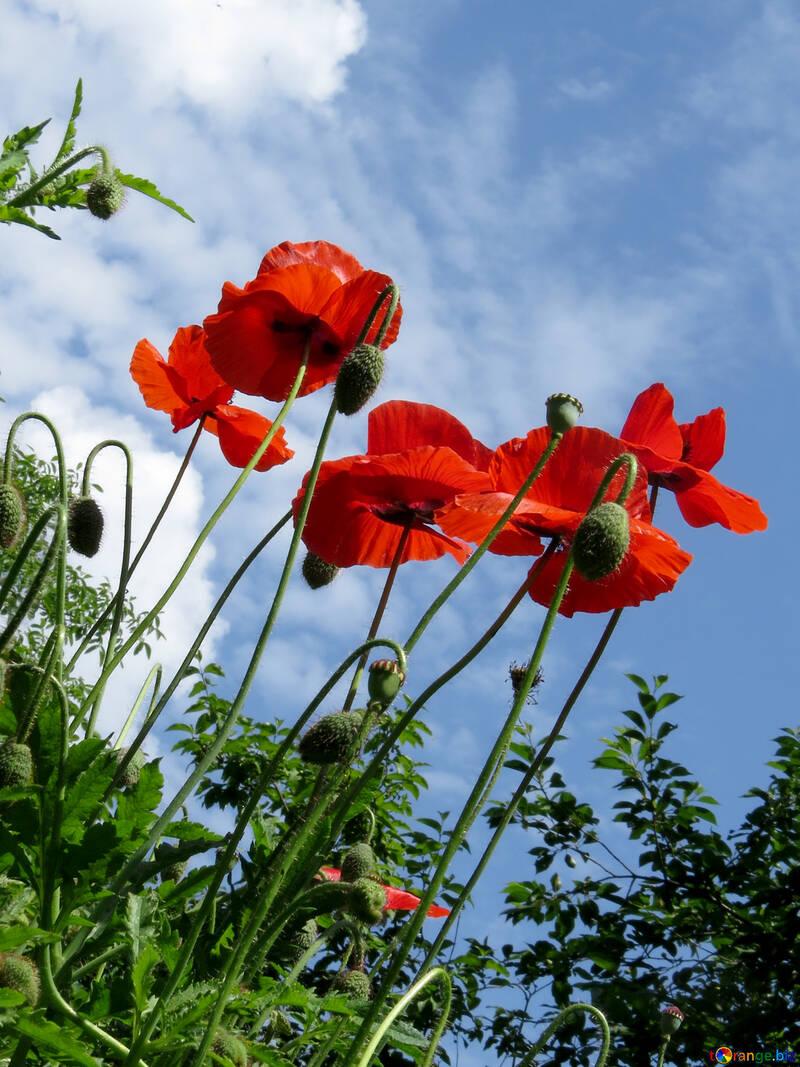 Цветки мака на фоне неба  №37012