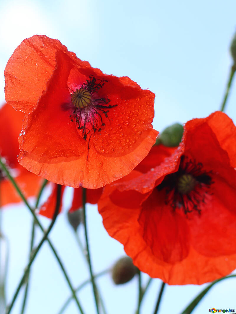 Flowers Poppy On A Background Of The Sky Poppy Flower Poppy 37056