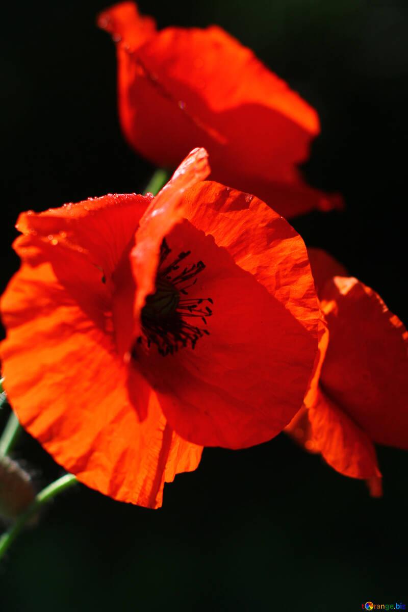 Red poppy №37111