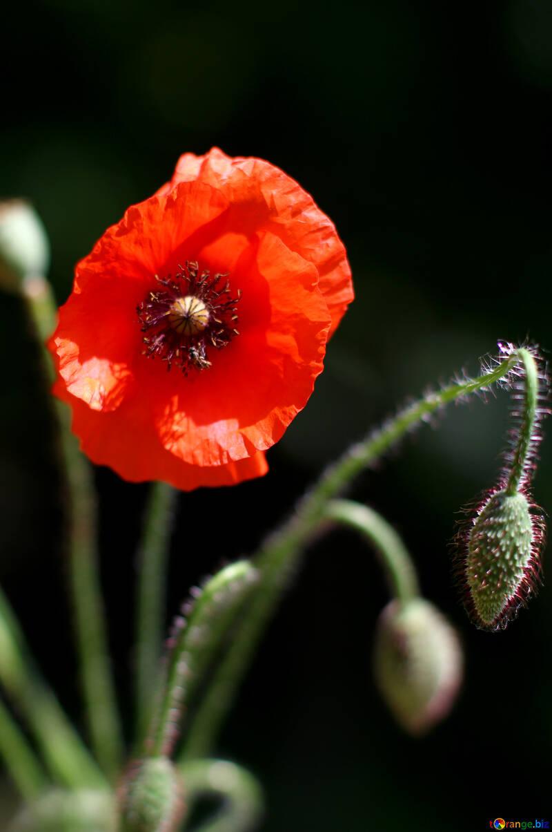 Poppy flower №37126
