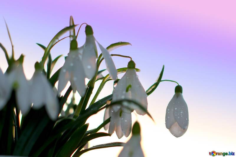 Per la primavera di sfondo sfondo desktop bucaneve №37974