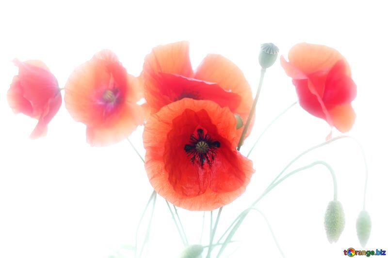 Blumen mohn auf einem weißen hintergrund blumen die mohnblume auf ...