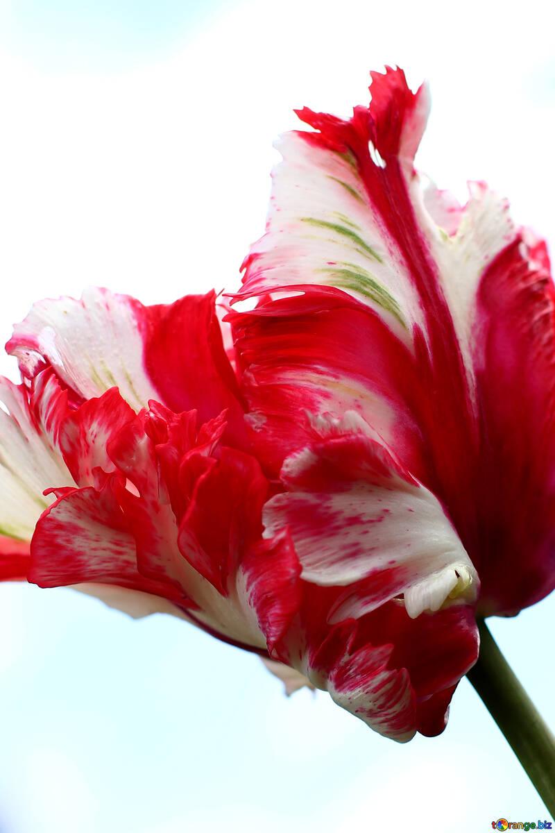 Фон с тюльпаном  №37685