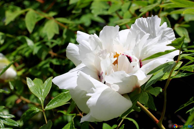 Beautiful flower Peony №37644