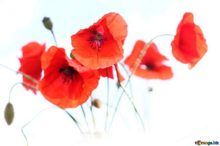 Poppy flowers in isolation №37057