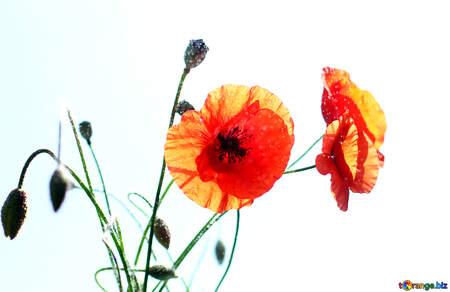 Poppy in isolation №37088