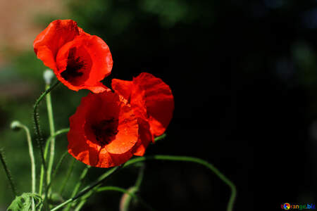 Beautiful background with poppies №37107