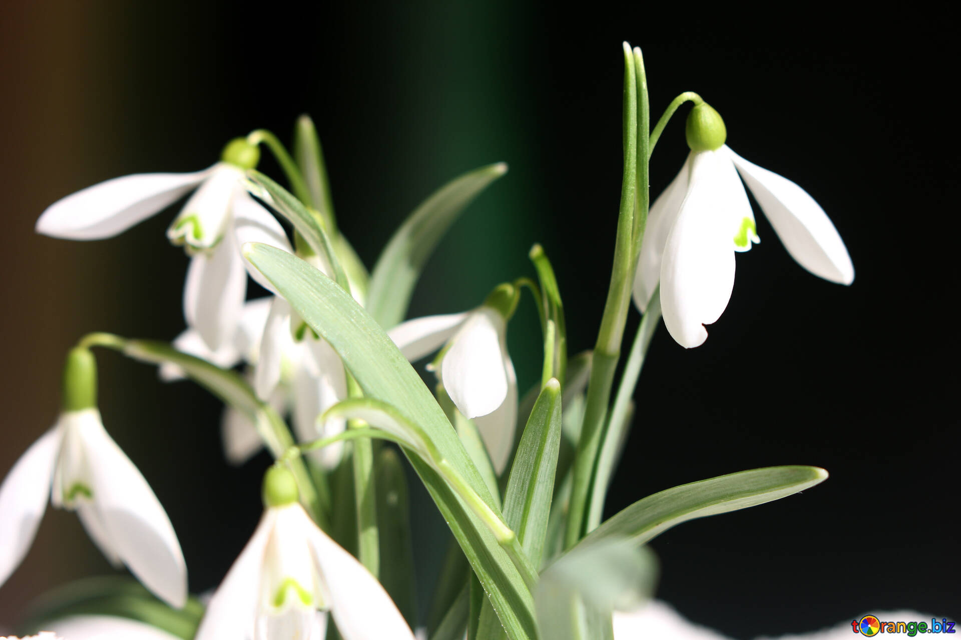 Flowers Snowdrops Desktop Wallpapers Flowers In Early Spring Desktop