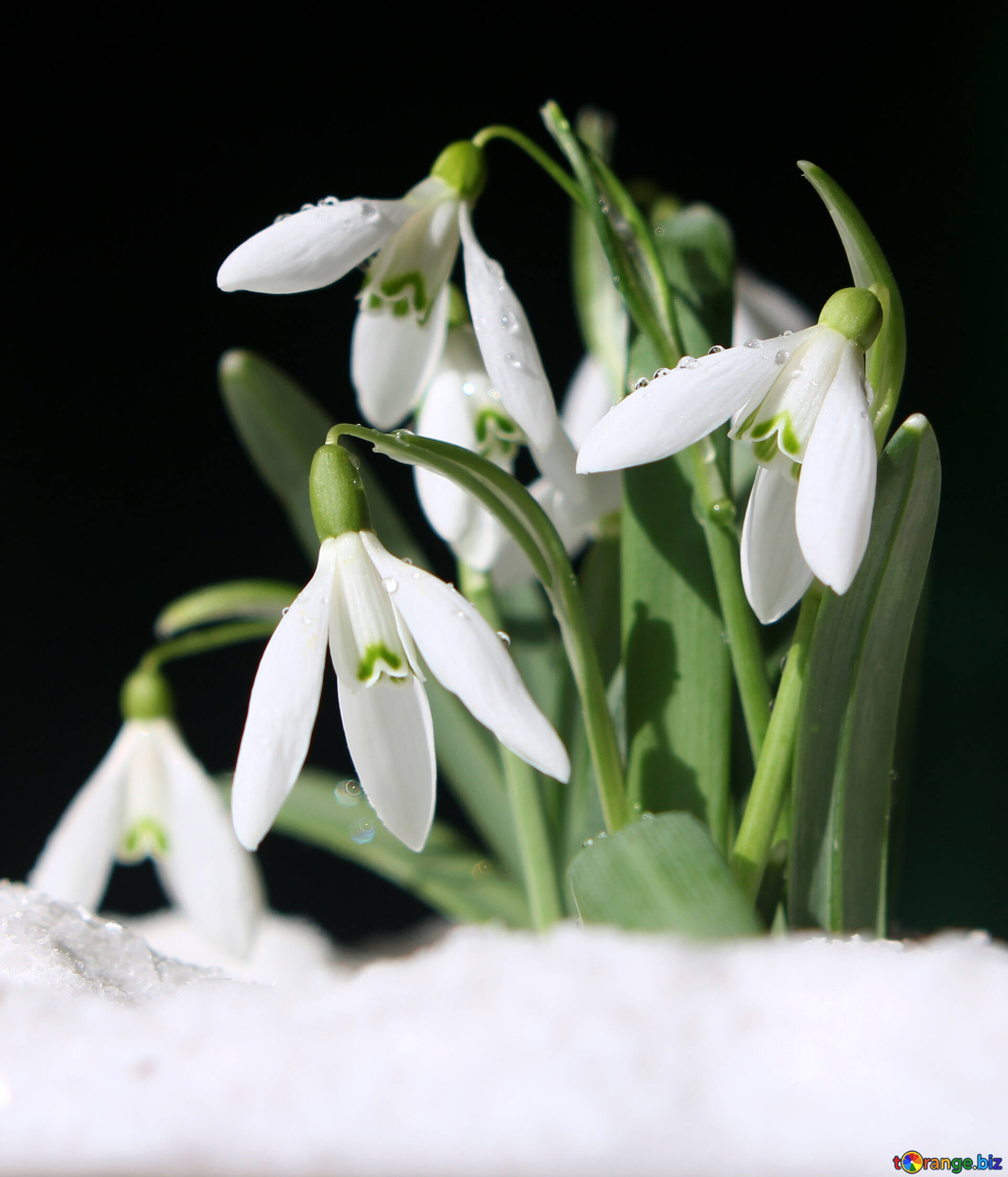 Flowers Snowdrops Desktop Wallpapers Pictures Of Spring Flowers