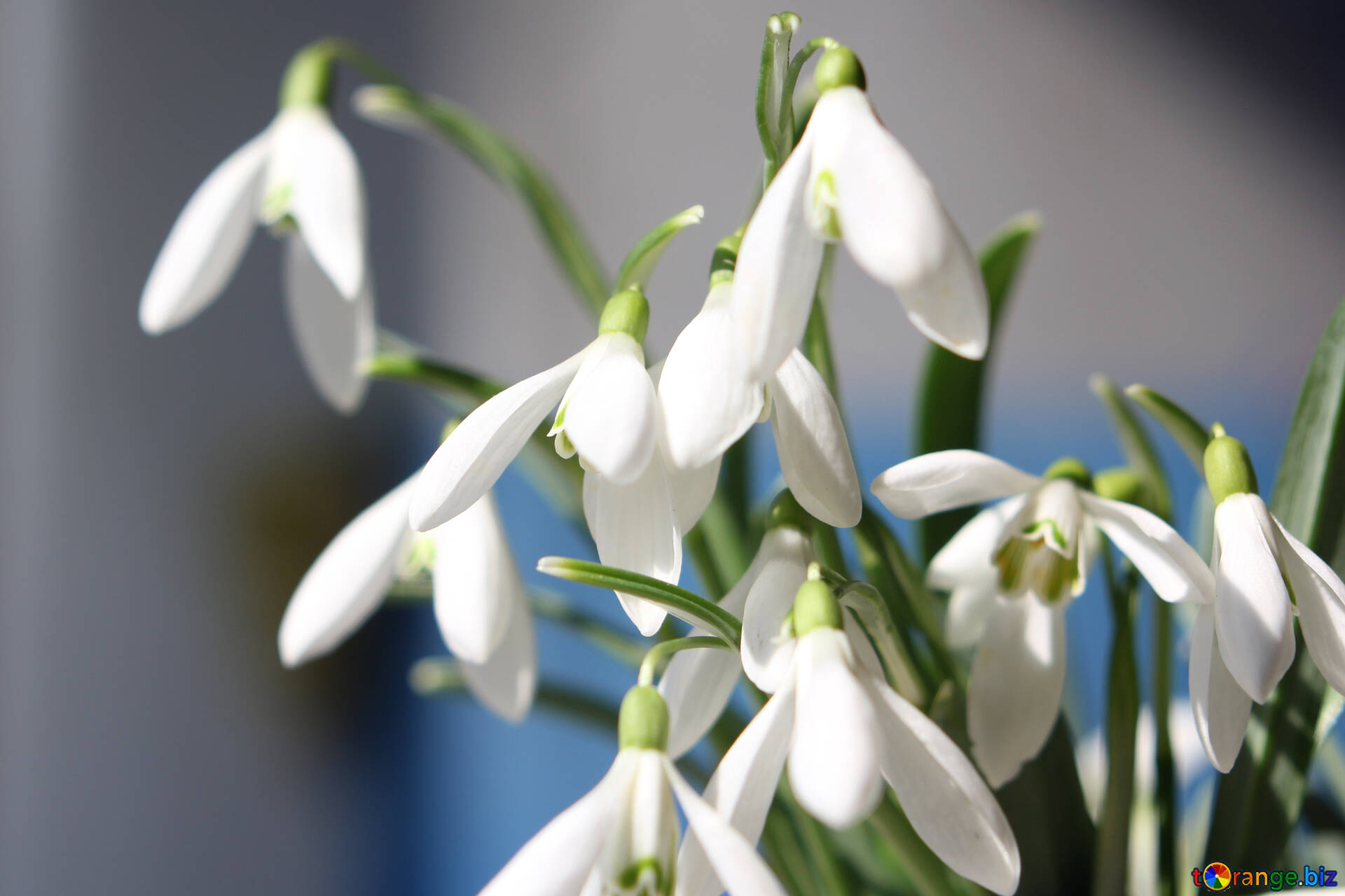 Flowers Snowdrops Desktop Wallpapers Pictures Of Early Spring